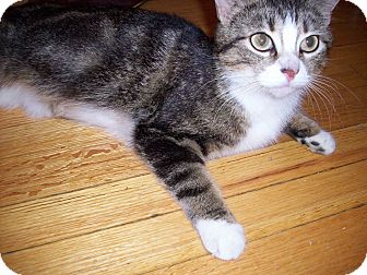 Domestic Shorthair Cat for adoption in Mississauga, Ontario, Ontario - Lady Astor