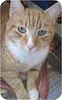 Domestic Mediumhair Cat for adoption in Greenville, North Carolina - Rusty