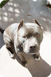 American Pit Bull Terrier Dog for adption in San Diego, California - Smokie
