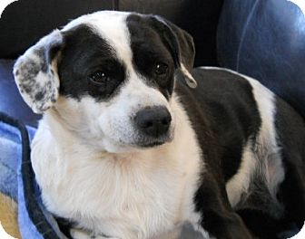 Rat Terrier/Jack Russell Terrier Mix Dog for Sale in dewey, Arizona - Taffy