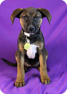 Shepherd (Unknown Type)/Australian Cattle Dog Mix Puppy for Sale in Westminster, Colorado - Nadia