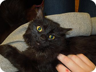 Domestic Mediumhair Cat for Sale in Medina, Ohio - Fauna