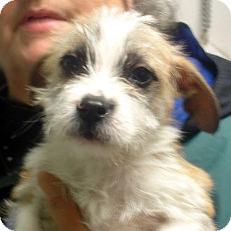 Cairn Terrier Mix Puppy for adption in hagerstown, Maryland - Hyatt