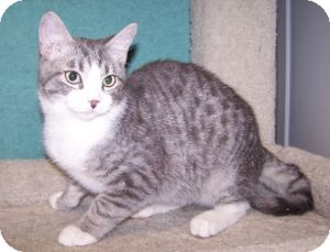 Domestic Shorthair Kitten for Sale in Colorado Springs, Colorado - K-Eva4-Flynn