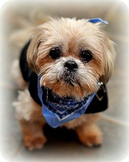 Shih Tzu/Lhasa Apso Mix Dog for Sale in Sparta, New Jersey - Butch
