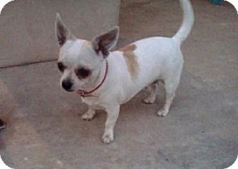 Chihuahua Dog for adption in Van Nuys, California - PRINCESS PINKY