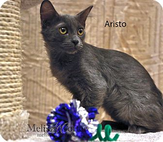 Russian Blue Cat for Sale in Phoenix, Arizona - Aristo