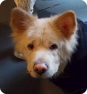 Spitz (Unknown Type, Medium)/Chow Chow Mix Dog for Sale in North Olmsted, Ohio - Lilly