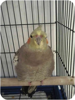 Cockatiel for adoption in Tampa, Florida - Chico & Calypso