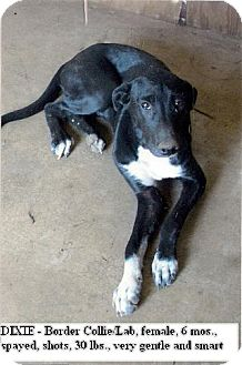 Border Collie/Labrador Retriever Mix Puppy for adption in Moulton, Alabama - Dixie