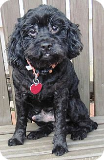 Poodle (Miniature)/Cocker Spaniel Mix Dog for Sale in Spring Valley, New York - Dusty