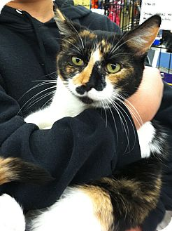 Calico Cat for Sale in Riverhead, New York - Patches