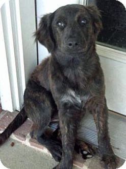 Flat-Coated Retriever/Australian Shepherd Mix Puppy for Sale in Houston, Texas - Delta