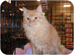 Domestic Longhair Cat for Sale in Loudonville, New York - Felice