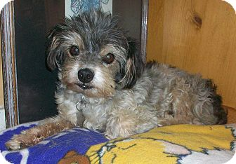 Shih Tzu Mix Dog for adption in Studio City, California - Monty
