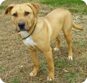 Labrador Retriever/Retriever (Unknown Type) Mix Dog for Sale in Lincolnton, North Carolina - Mia