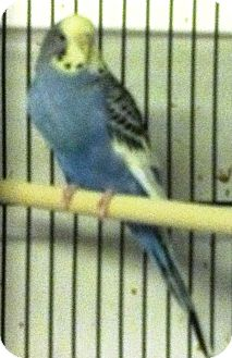 Budgie for Sale in Shawnee Mission, Kansas - Sugar