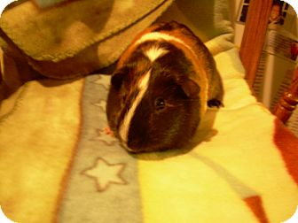 Guinea Pig for adoption in johnson creek, Wisconsin - lil abner
