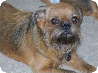 Brussels Griffon Dog for Sale in Mesa, Arizona - NESTLE in Tempe, AZ.