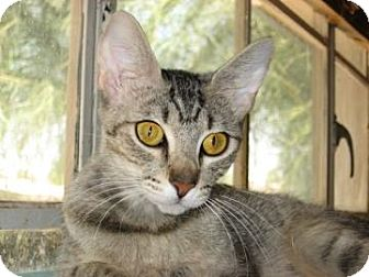 Domestic Shorthair Cat for Sale in Fountain Hills, Arizona - PEARL