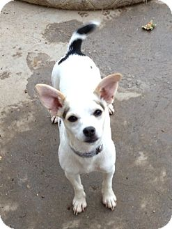 Rat Terrier/Chihuahua Mix Dog for Sale in Gustine, California - JAXSON
