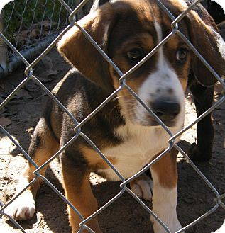 Beagle/Hound (Unknown Type) Mix Puppy for Sale in shelton, Connecticut - Baxter adoption fee reduced