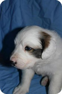 Great Pyrenees Mix Puppy for Sale in Stilwell, Oklahoma - Oliver