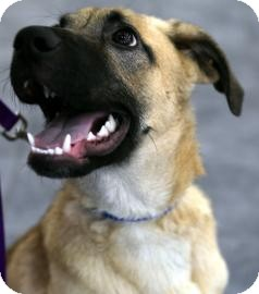 German Shepherd Dog Mix Dog for Sale in Kettering, Ohio - Mr. Wethers