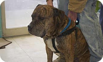 Mastiff Mix Dog for Sale in New cumberland, West Virginia - Mighty Mouse
