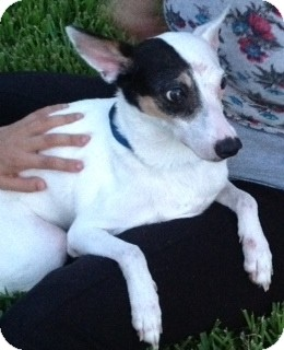 Jack Russell Terrier Mix Dog for Sale in Clermont, Florida - Lilly