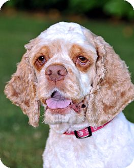 Cocker Spaniel Dog for Sale in Spanaway, Washington - MADDIE