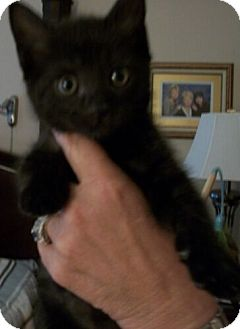 Domestic Shorthair Kitten for Sale in Sterling, Virginia - Cavier