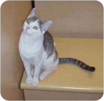 Domestic Shorthair Cat for adoption in Culver City, California - Agnes
