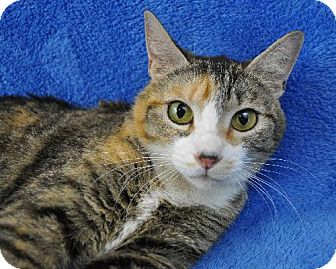 Domestic Shorthair Cat for adoption in Mesa, Arizona - Karmen
