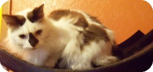 Ragdoll Cat for Sale in Ennis, Texas - Rampel
