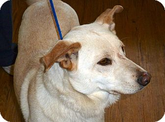 German Shepherd Dog/Labrador Retriever Mix Dog for adption in Groton, Massachusetts - Maddie