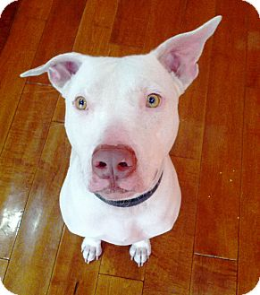 American Pit Bull Terrier/American Pit Bull Terrier Mix Dog for Sale in Phoenix, Arizona - Odie~Courtesy Post