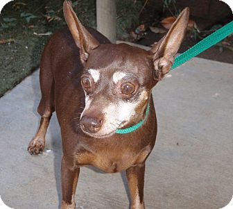 Miniature Pinscher/Chihuahua Mix Dog for adption in Corona, California ...