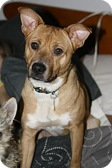 Carolina Dog Mix Dog for Sale in Sussex, New Jersey - Sandy $50.00 off adopt fee