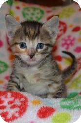 Domestic Shorthair Kitten for Sale in Oceanside, New York - Mia  & Lucie