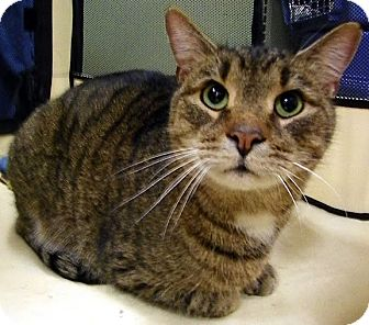 Domestic Shorthair Cat for adoption in Alexandria, Virginia - Rooster