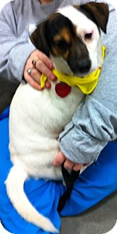Jack Russell Terrier Mix Dog for Sale in Loudonville, New York - Gibby