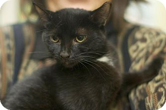 Domestic Shorthair Kitten for adoption in New York, New York - Cinder and Cole
