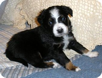 Australian Kelpie/Border Collie Mix Puppy for Sale in Granbury, Texas - Traveller