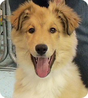 Collie Mix Puppy for Sale in Cedar Rapids, Iowa - Jack