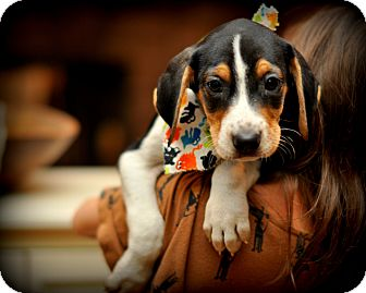 Treeing Walker Coonhound/Beagle Mix Puppy for Sale in Sparta, New Jersey - Twinkie