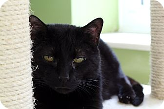 Domestic Shorthair Cat for adoption in Chicago, Illinois - Maron