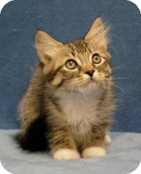 Domestic Mediumhair Cat for Sale in Sacramento, California - Cliff
