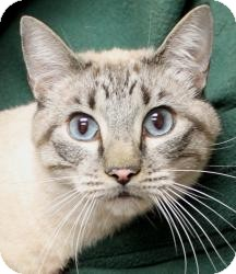 Siamese Cat for Sale in Sacramento, California - Blake