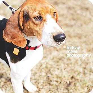 Treeing Walker Coonhound Dog for adption in Carey, Ohio - TWILA